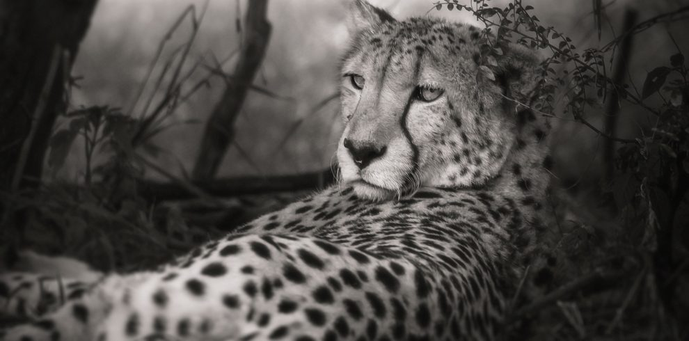 cheetah-2871832_1920