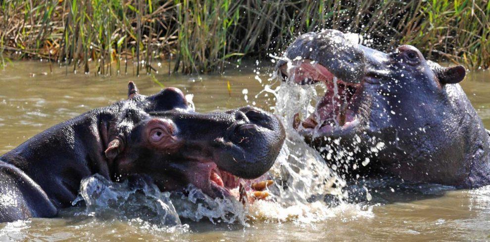 hippo-3645654_1920