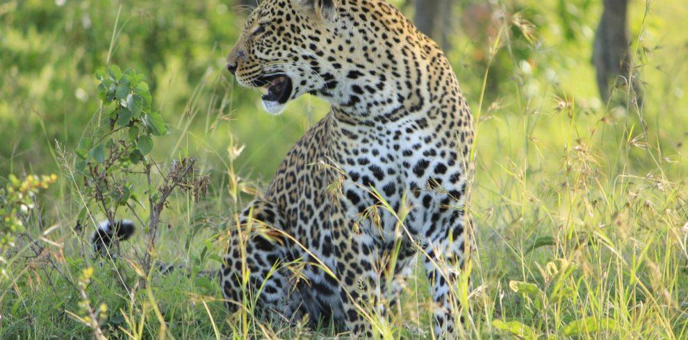 leopard-2741169_1920