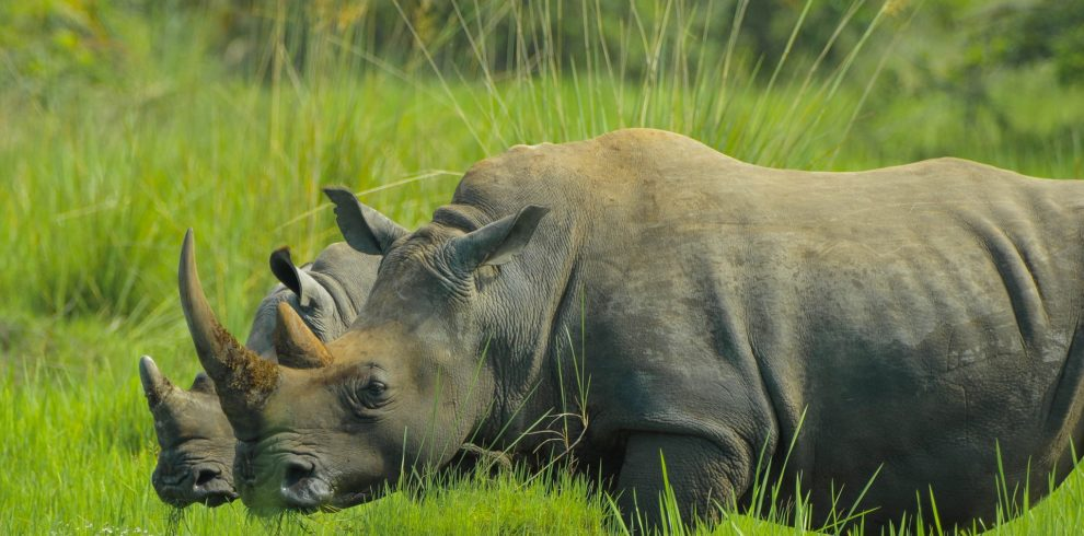 rhino-2878222_1920
